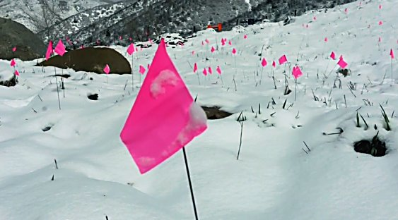 Pink flags marks piles of dog poop on Smuggler Mountain. County trails officials say cleaning up the mess would only encourage more irresponsibility.