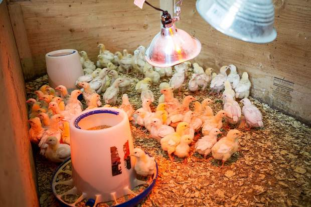 Chicks raised by Shining Mountains Farm stay warm with a heat lamp.