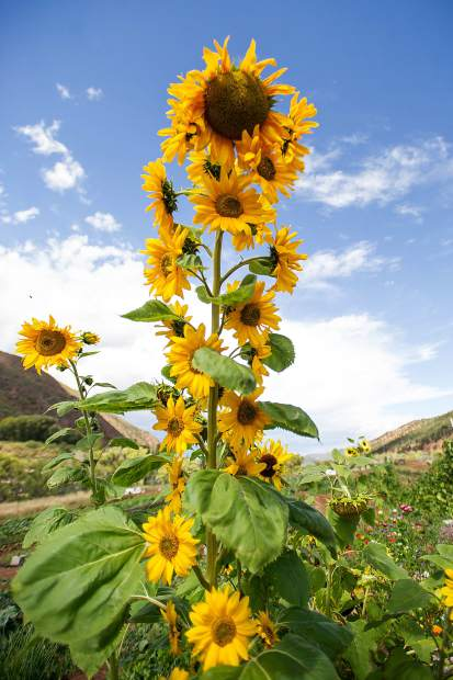 A sunflower towers over veggies and greens at Erin's Acres Farm on the Lazy Glen Open Space.