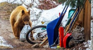 First bear of season killed by Colorado wildlife officers after relocation attempt