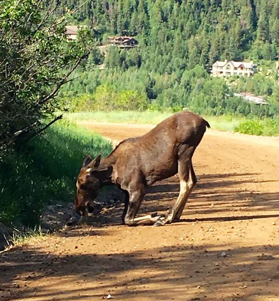 Young moose finds Smuggler Mountain Road grass irresistible