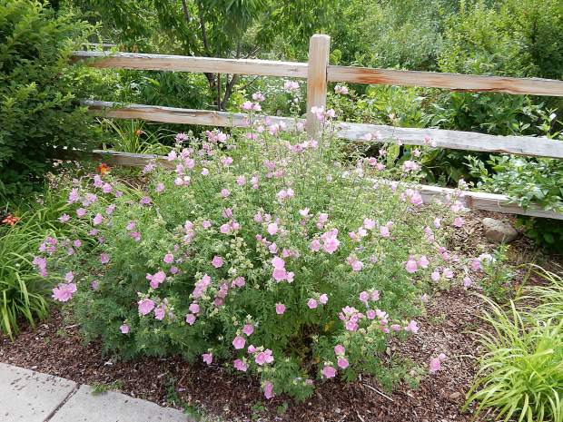 Flowers to attract pollinators are mixed in with edible and medicinal plants at Basalt's edible garden.