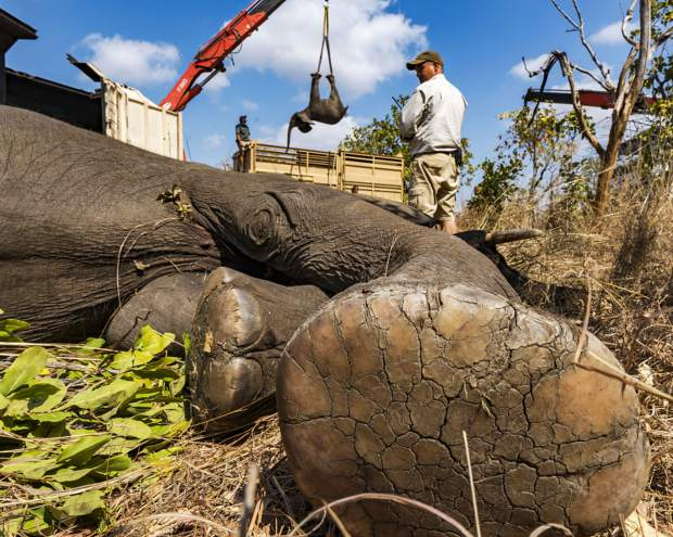 Majete Wildlife Reserve in Malawi is relocating 500 elephants to another park in the north. Thanks to strict management  and business developments for local communities outside of the reserve, all done by African Parks, wildlife numbers have soared enabling the relocation efforts - one fo the biggest ever.