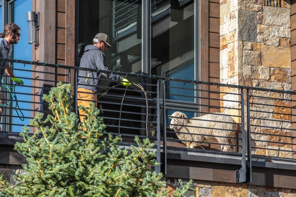A domestic sheep separated from its herd got itself stuck on a Vail porch for three days. Rescuers safely got the sheep off of the porch on Tuesday morning.